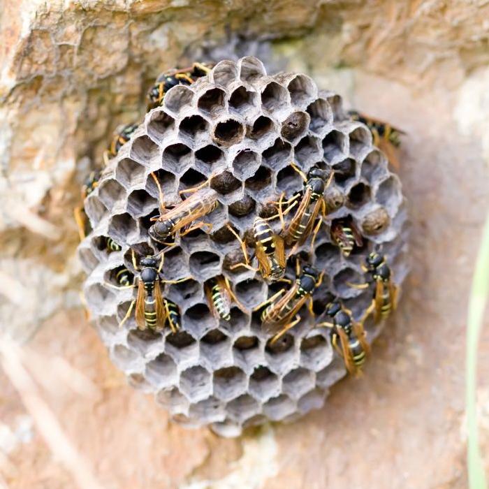 Comment détruire un nid de guêpes
