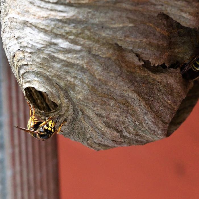Comment déstruire un nid de guêpes