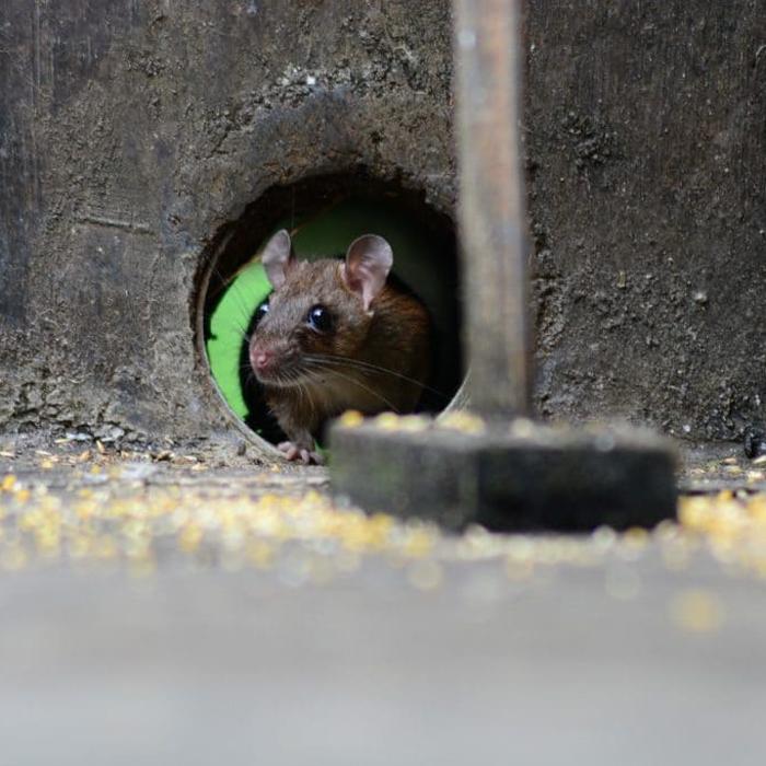 Traitement contre les rats